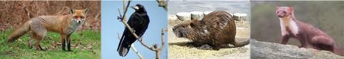 renard-corbeau-freux-ragondin-fouine